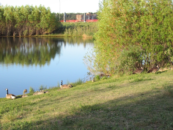 On the morning of June 4th, like many other mornings, the two goose families were on a northwestern grassy slope. Like on May 31st, Gwyn's goslings were already grazing while Gertie's goslings cuddled in the early sunshine.