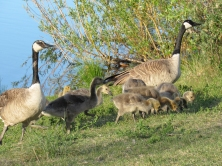 Gwyn, George and their goslings.