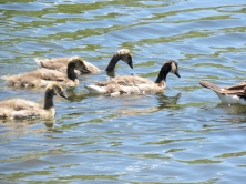 Four of Gwyn's goslings. Three are younger.