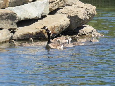 Gertie, Greg and their 6 goslings.