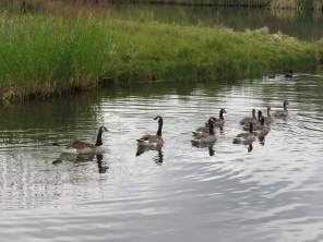 Gwyn, George and their 9 remaining goslings.