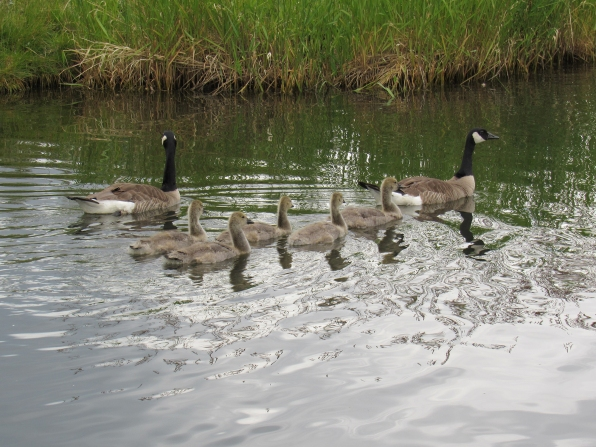 Gertie, Greg and their 5 remaining goslings.