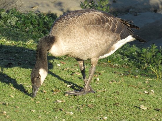 A young Canada goose grazing in summer evening light. It now has adult feathers but it is still smaller than an adult.