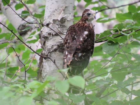 The youngest looking fledgling. It had the most white downy feathers on its face.