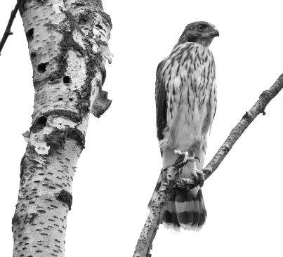 My photos of the third youngster lacked colour vibrancy but had nice tonal contrast, so I played with a black and white edit.