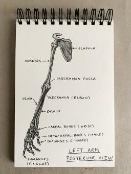 Human arm bones. The olecranon is part of the ulna.